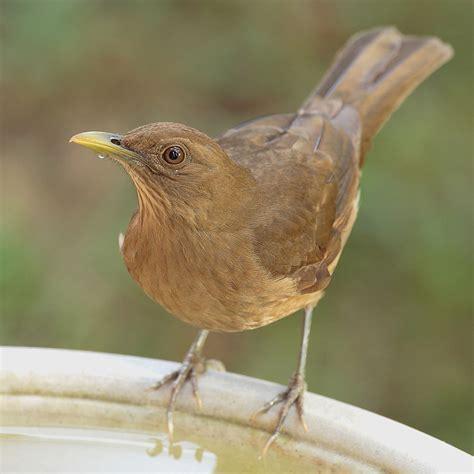 lo que habita dentro aves de costa rica wikipedia la enciclopedia libre