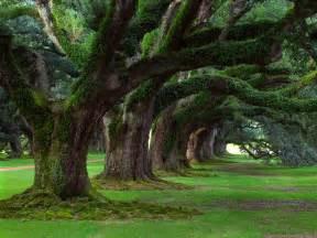 Live Oak Live Oaks Oak Alley Plantation Vacherie Louisiana Jpg