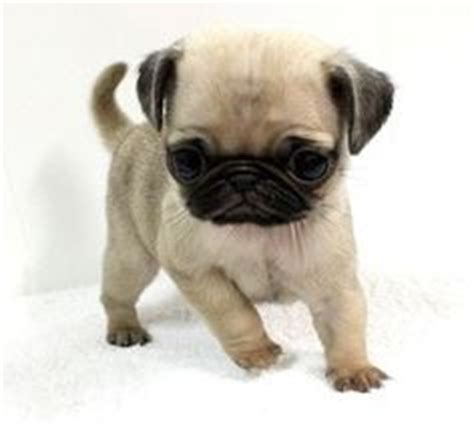 cutest pugs in the world 1000 images about cutes pets on pets cutest dogs and boo puppy