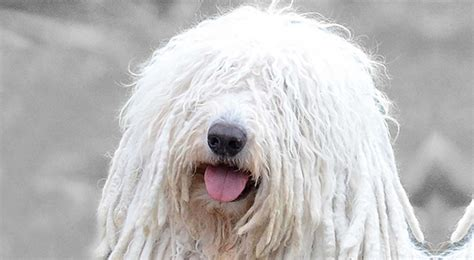 akc puppy breeders komondor breed information american kennel club