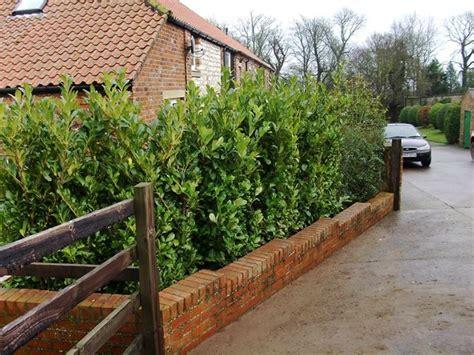 siepi giardino sempreverdi siepi da giardino sempreverdi siepi sempreverdi per siepi