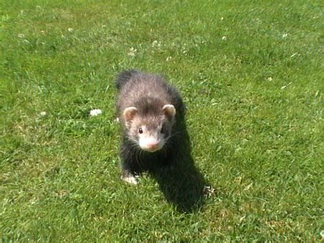 Do Ferrets Shed for frank my ferret shed and ferrets sporting pictures pigeon forums