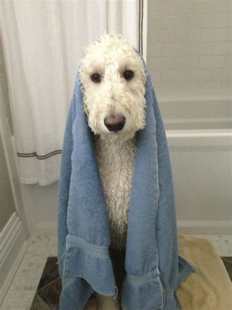 how to bathe a goldendoodle puppy 1000 images about goldendoodles on