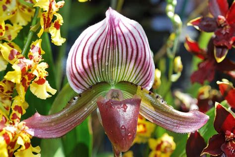 s slipper orchid s slipper orchid by maha aldoori
