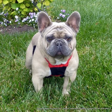 bulldog puppies for sale in oregon akc bulldogs for sale in oregon breeds picture