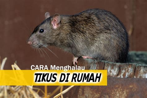 cara membuat jebakan tikus di rumah cara halau tikus women online magazine