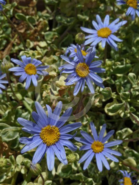 felicia amelloides variegata variegated blue daisy