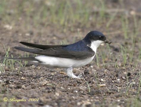 house martin common house martin birdforum opus