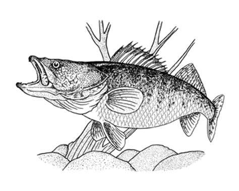 how to draw fish walleye