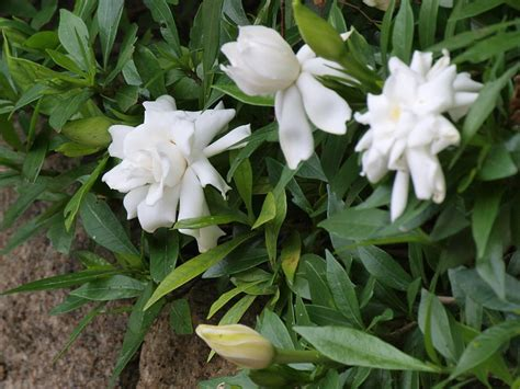 plants flowers gardenia augusta