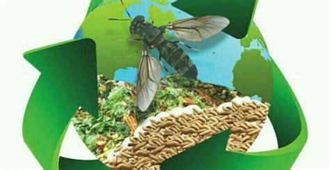 Maggot Sebagai Pakan Ternak home teknologi solusi dunia peternakan
