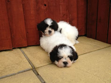 bichon frise and shih tzu puppies for sale shih tzu x bichon frise puppies for sale 1 llanelli carmarthenshire pets4homes