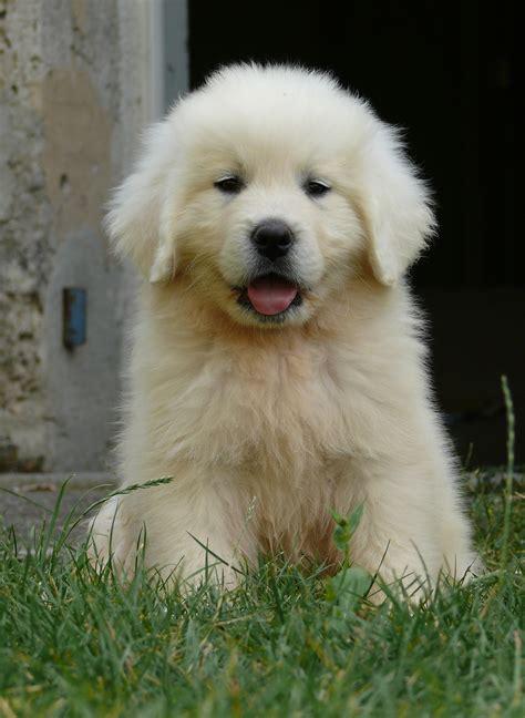 maremma golden retriever mix безплатна снимка кученце портрет голдън ретривър животни гръбначен berger подхале бяло