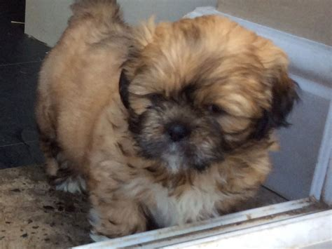 shih tzu puppies for sale in colorado shih tzu puppies for sale thirsk pets4homes