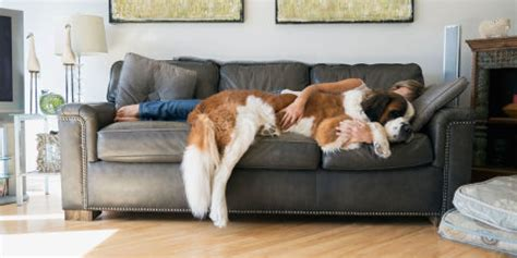 bernard couch dogs understand how much their human owners love them