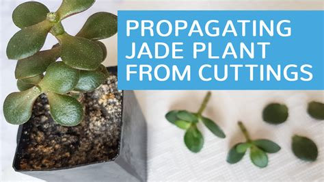 jade plant didn t sprout two branches at pruning how to propagate jade plants from cuttings adriennecsedi