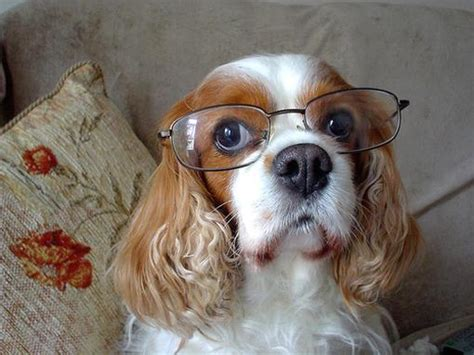 puppy with glasses animals with glasses pets and docile