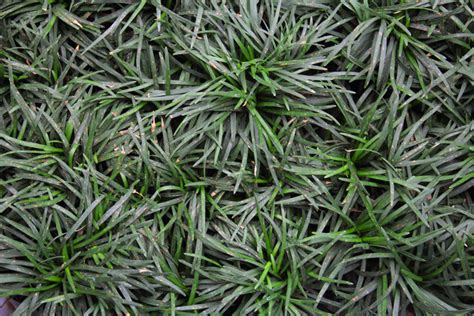mondo grass hello hello plants garden supplies
