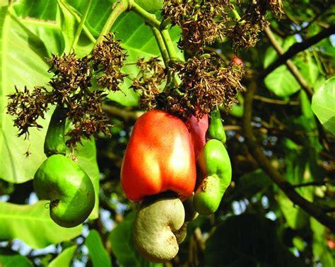 cashew nut fruit tree snooth talk the acaxu cashew wine story