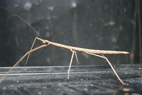 stick bug humorous