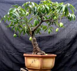 Grafted Dwarf Fruit Trees - mangala s bonsai may 2011