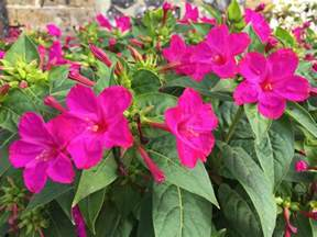 Container Gardening Book - daily flower candy mirabilis jalapa the frustrated gardener