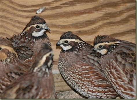raising backyard quail rearing incubation and brooding guinea fowl the poultry
