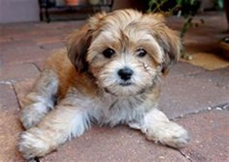 papillon havanese mix 1000 images about dogs on havanese dogs chihuahua dogs and papillon