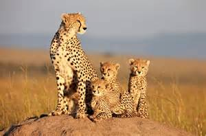 Are Jaguars In Africa F 233 Lins 224 Rugir De Plaisir Brain Damaged