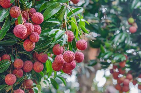 lychee fruit lychee tree care how to grow lychee fruit in the landscape