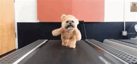 shih tzu gif shih tzu treadmill gif gif shih tzu discover gifs