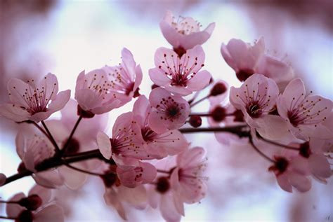 cherry blossom color blooming pink cherry blossom pink color photo