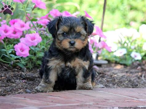 yorkie poos for sale in pa 17 best images about loving designer puppies for sale on morkie puppies