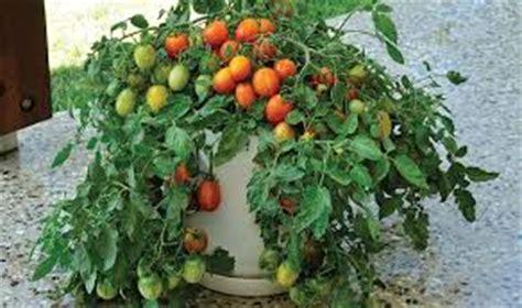 20 Tanaman Buah Dalam Pot Rajin Berbuah membuat tanaman buah dalam pot cepat berbuah lebat tanaman bunga hias