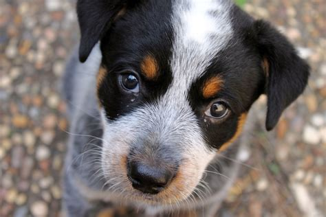 how to a blue heeler puppy itap of my blue heeler puppy itookapicture