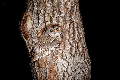 Screech Owl Po Archives - trap codger april 2007