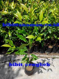 Bibit Cengkeh Manado grosir bibit tanaman cengkeh murah unggul di