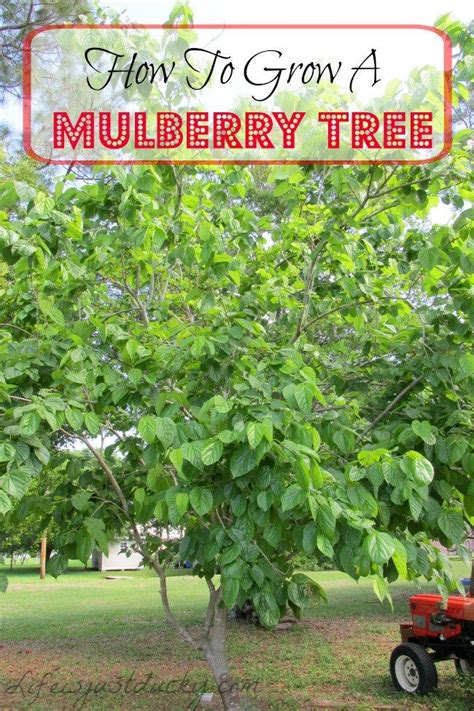 best 25 mulberry tree ideas on pinterest mulberry