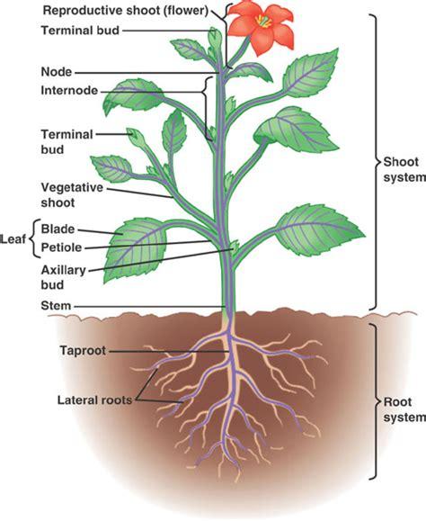 plant diagrams a p biology