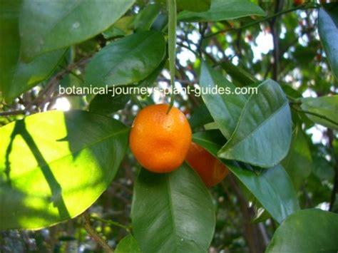 kumquat tree not bearing fruit calamondin orange tree citrangequat most cold hardy