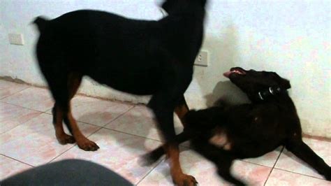 rottweiler biting how to stop how to effectively stop a puppy from play biting the rottweiler way