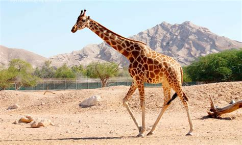 imagenes jirafas jirafa somal 205 caracter 237 sticas qu 233 come d 243 nde vive