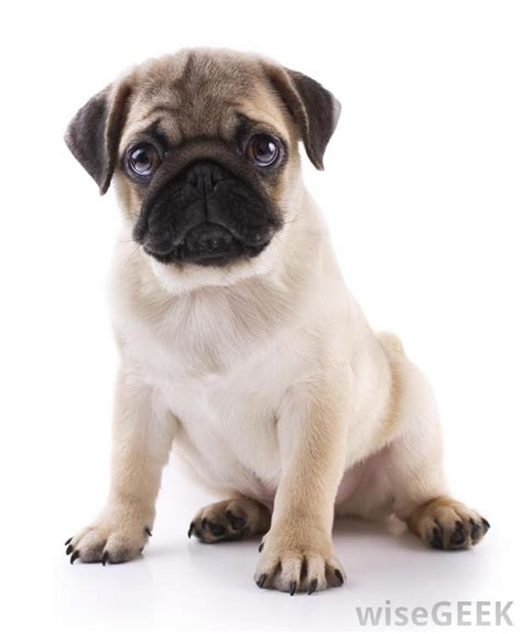 pug breathing sound why do some breeds of dogs snuffle and snort with pictures