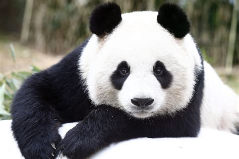 www panda berlin zoo to welcome two new pandas the local