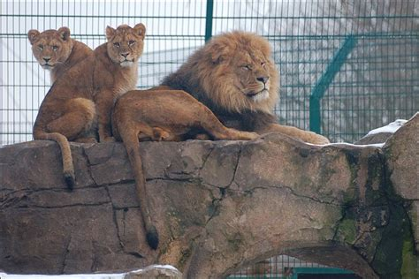 printable blackpool zoo vouchers bbc in pictures pride of lion cubs at blackpool zoo