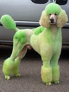 poodle with plain hair cut poodles that look like camels people com