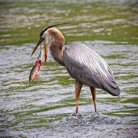Great Blue Heron Design Photography Art Blue Heron Nh 2