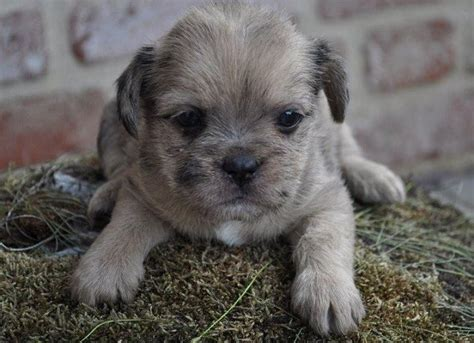 shih tzu pug mix breed 453 best images about pug mixed breeds on