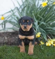rottweiler puppies for sale in eastern cape large heads german rottweiler puppies for sale port elizabeth free classifieds in