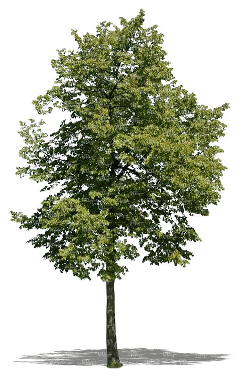 how to cut a tree cut out linden tree cut out trees and plants